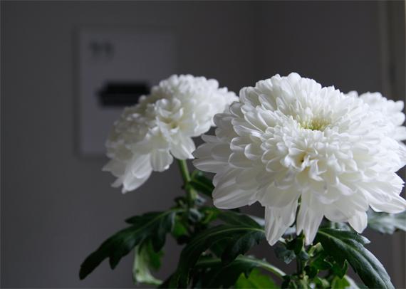 krysantemum inspirera mera inspireramera inredningsblogg blogg inredning fredagsblomma