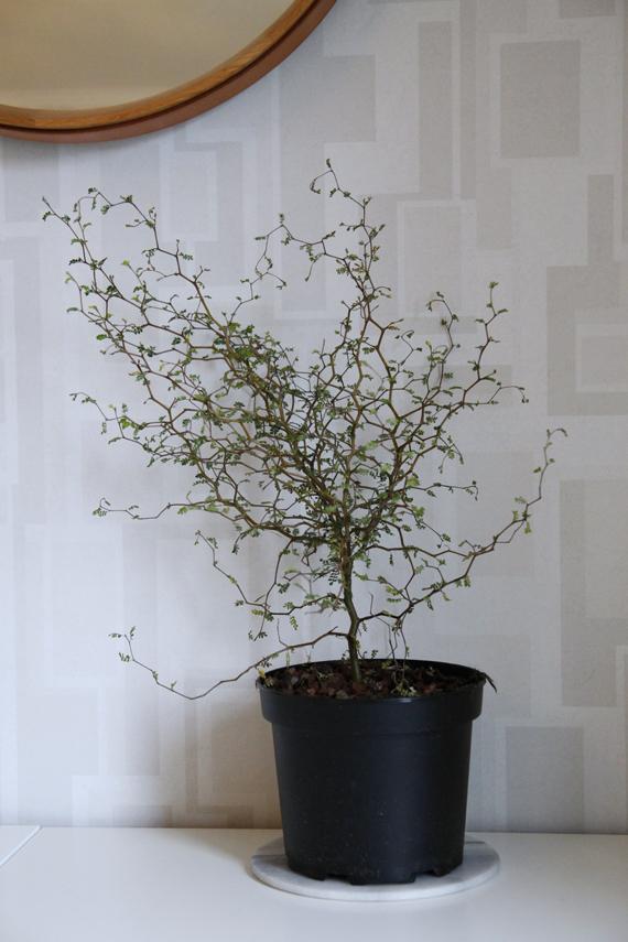 sophora växt trend inspirera mera inspireramera inredningsblogg inredning blogg inspiration
